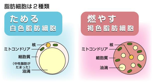 脂肪は絶対悪じゃない?痩せるダイエットの豆知識<褐色脂肪細胞とは>